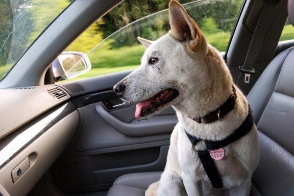 dog-car