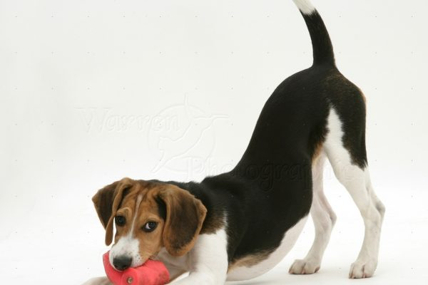 Beagle pup in play-bow with toy
